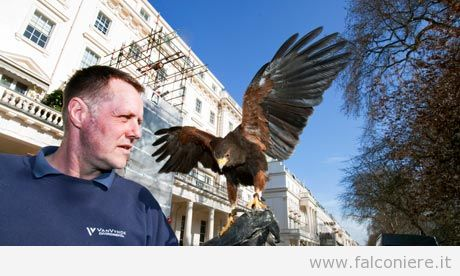 Falconer David Bishop with harris hawk Emu