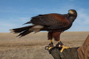 Harris-Hawk-9185web